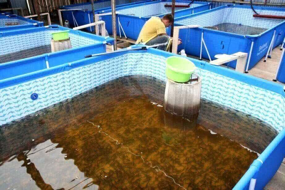Температура воды для выращивания осетра 28
